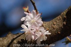 110406平野神社寒桜z.jpg
