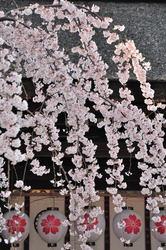 110406平野神社魁10.jpg