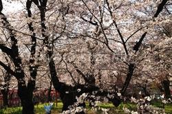 11041002平野神社神苑.jpg