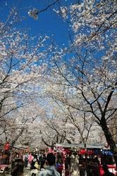 11041901平野神社西参道.jpg