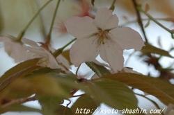 11042008平野神社嵐山.jpg