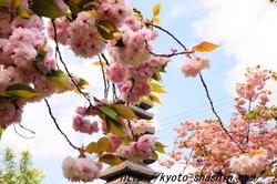 11042401普賢象桜.jpg