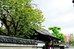 11042401雨宝院御衣黄桜.jpg