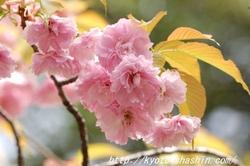 08041902突羽根桜.jpg